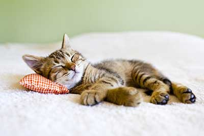 Sleeping Cat