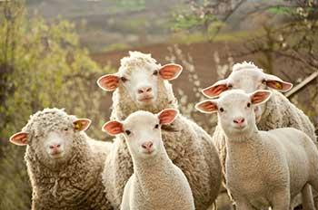 Wool Mattress Topper Sheep